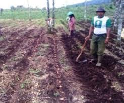 lahan kentang